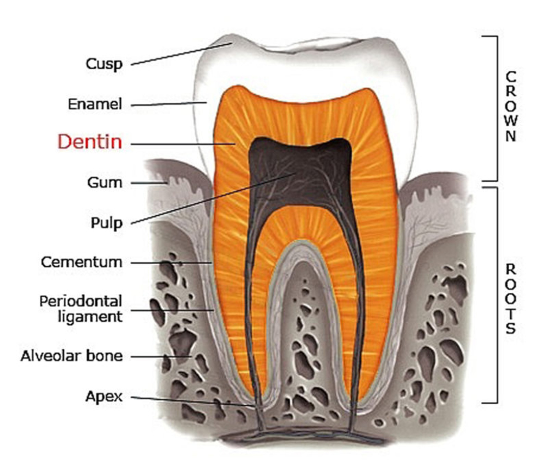 Structure of Teeth